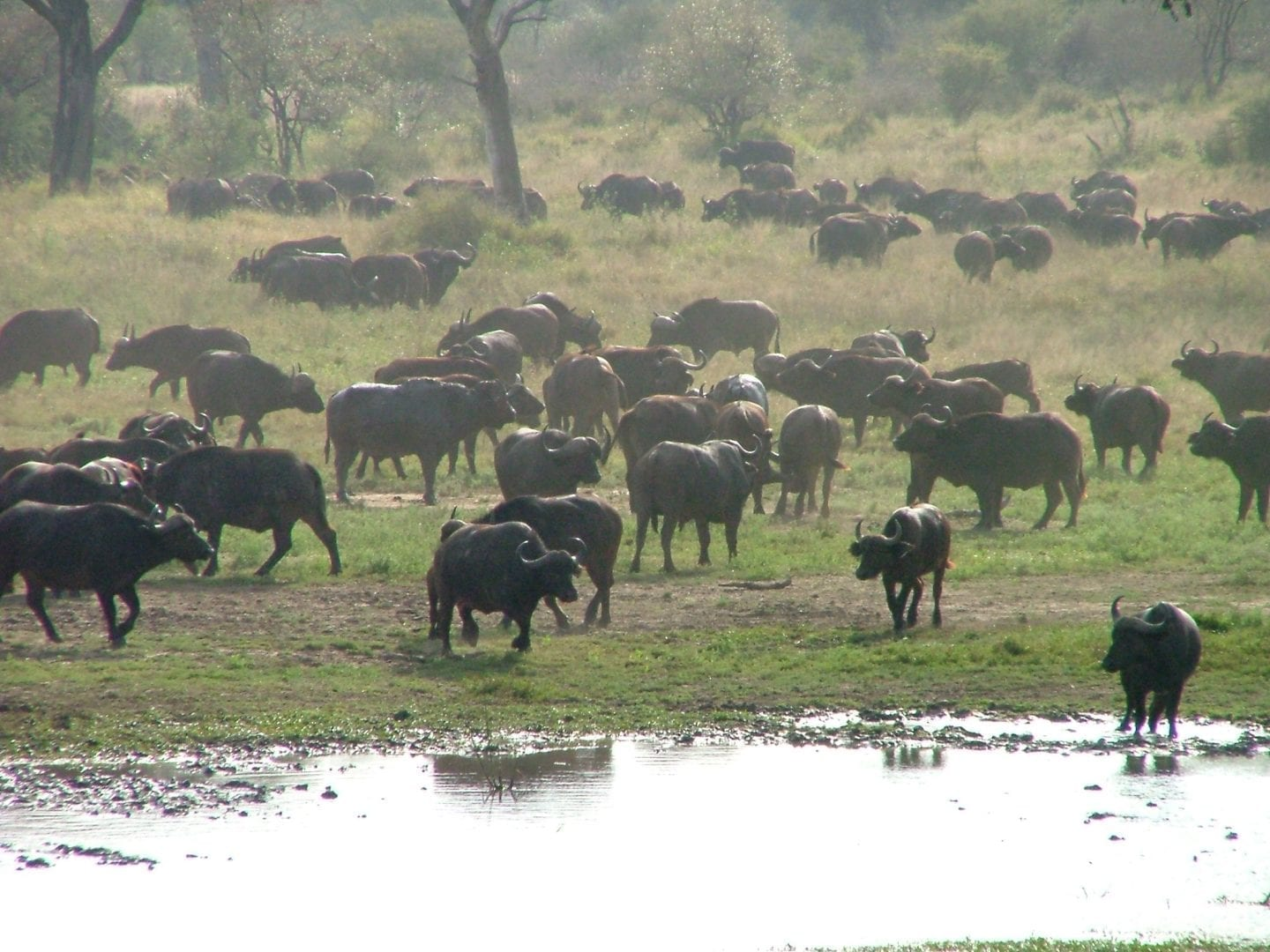 BUFFALOES-COMING-TO-DRINK-IN-THE-KRUGER-NATIONAL-PARK