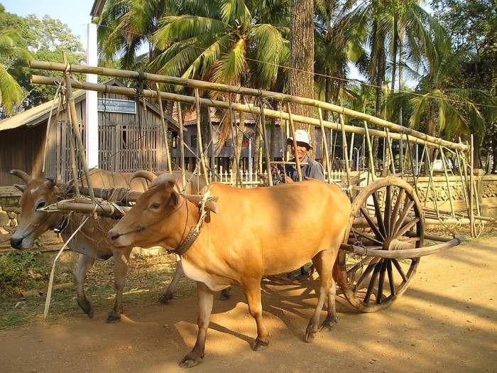 Cambodia-oxes-e1459419662903