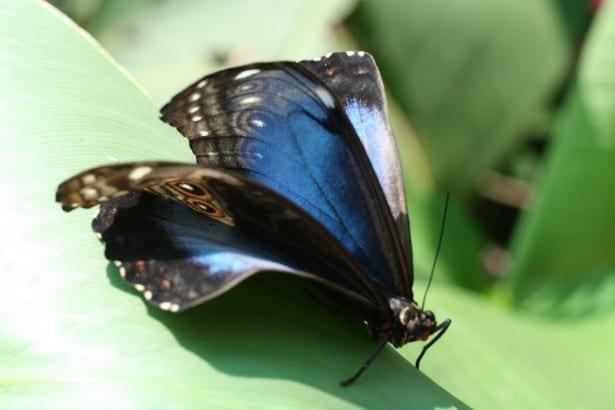 costa-rica-butterfly-1392600254D0n