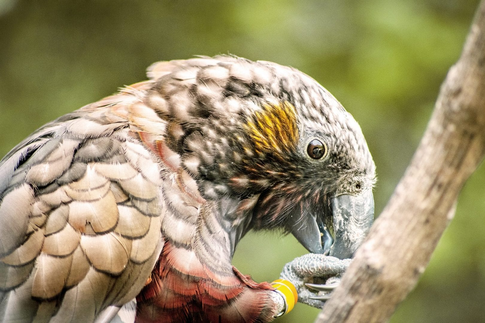 NZ Kaka Brown Parrot